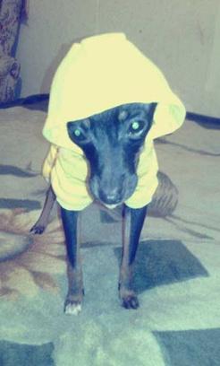 Тойтерьер, стильные наряды для собачек