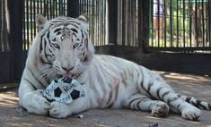 Красноярский тигр предсказал победу нашим футболистам