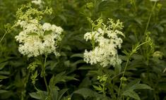 Лекарственное растение лабазник: польза и вред