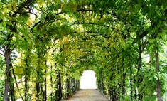 Сад мечты: вьющиеся растения