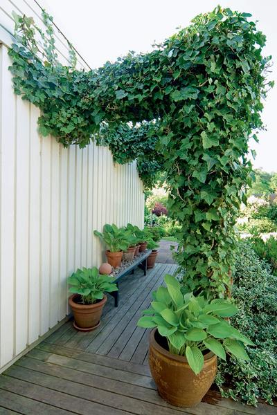К хозяйственным постройкам ведет зеленый коридор. В наших условиях плющ можно заменить на девичий виноград.