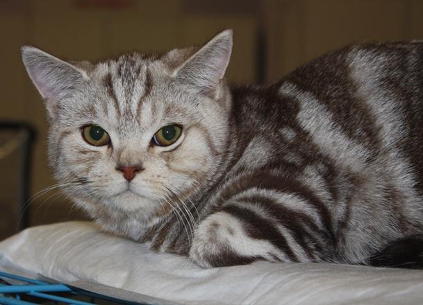 Самые модные кошки редких пород, фото