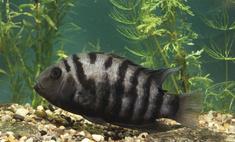 Капризные красавицы: аквариумные рыбки цихлиды