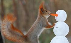 Милота дня: белки, играющие в снежки!