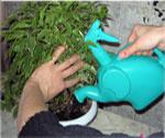 Струя воды из лейки не должна размывать почву в горшке.