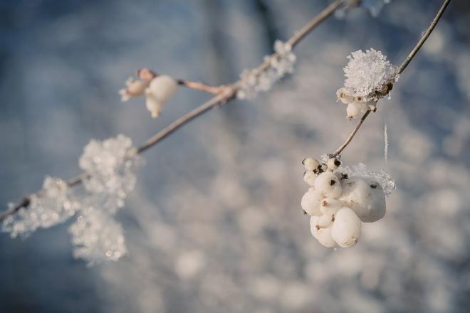 снежноягодник