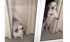 Собачки бурно радуются вернувшимся домой хозяевам (душевное видео)