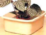 Можно постоянно держать растение на поддоне с водой, а можно помещать его туда только для пропитки почвы водой.