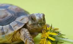 Осьминога Пауля заменит двуглавая черепаха