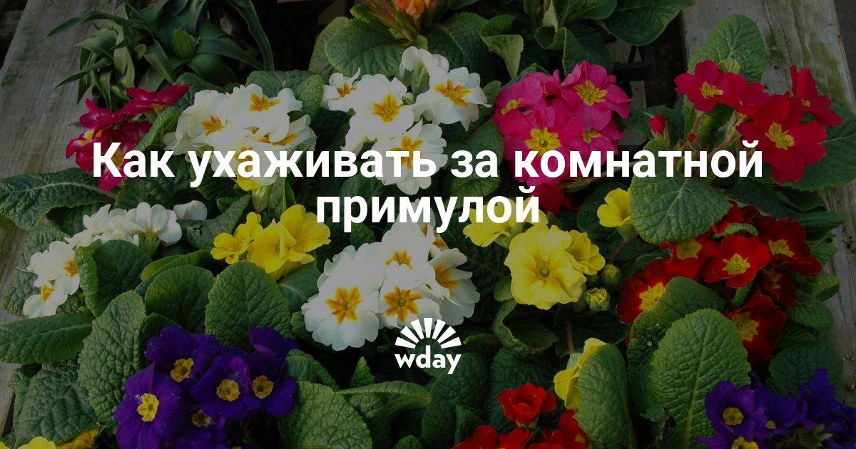 Цветок примула домашняя уход в домашних условиях