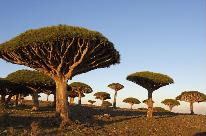 Деревья Драцена, Йемен