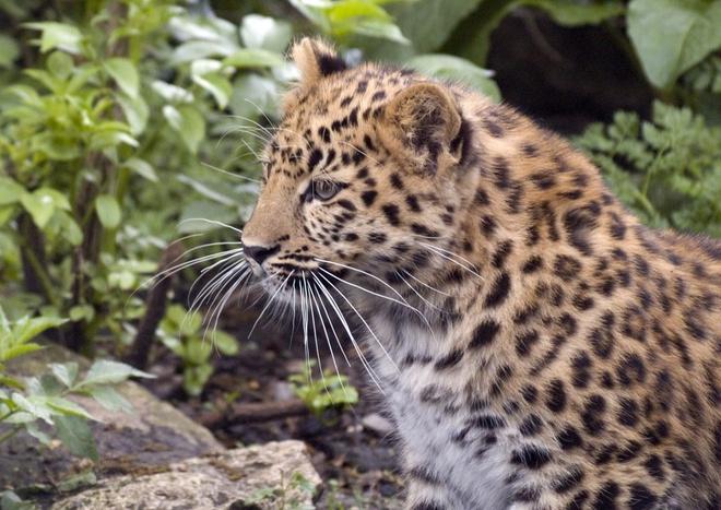 Сочинских леопардов выпустят в дикую природу