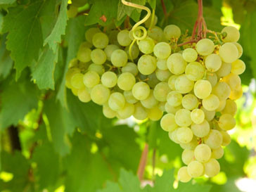 Виноград защитит кожу от ожогов
