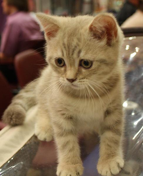 """Шотландская скоттиш-страйт, выставка """"Городские кошки"""""""
