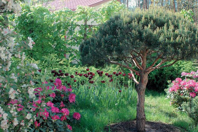 Обилие цветущих рододендронов в хвойной части сада.