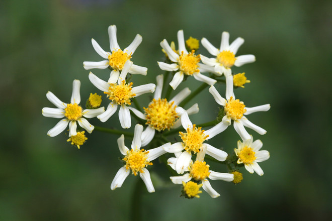 Сенецио имеет шароподобные цветки