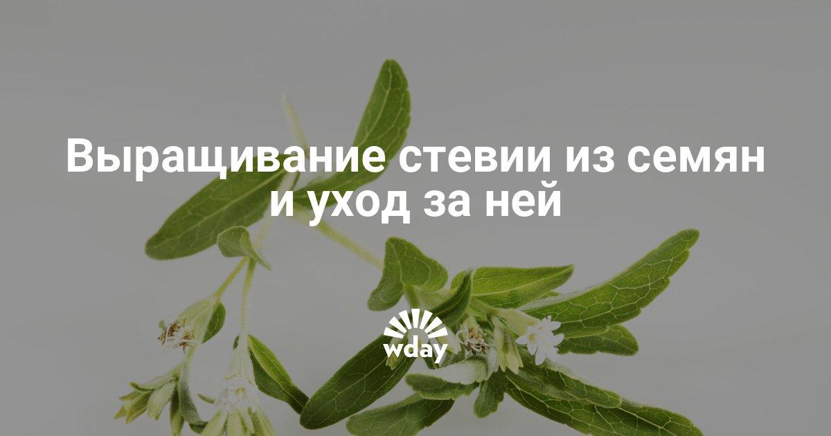 Стевия услада выращивание 59