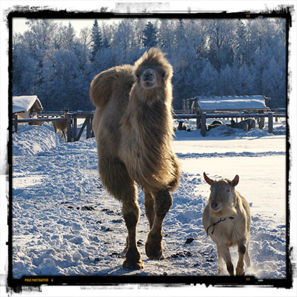 Ламы, верблюды и яки на ферме Марьино