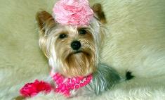 Выбрана самая стильная собачка Ставрополья!