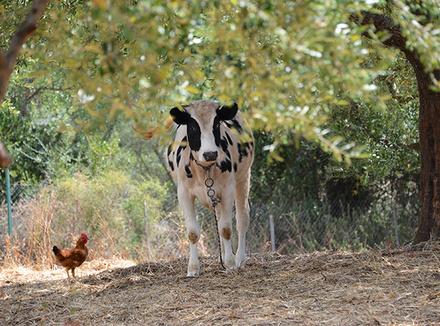 Трава, корова, курица