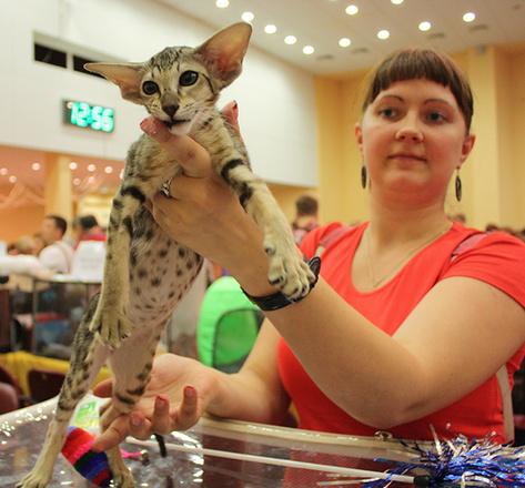 """Восточная ориентальная, выставка """"Городские кошки"""""""