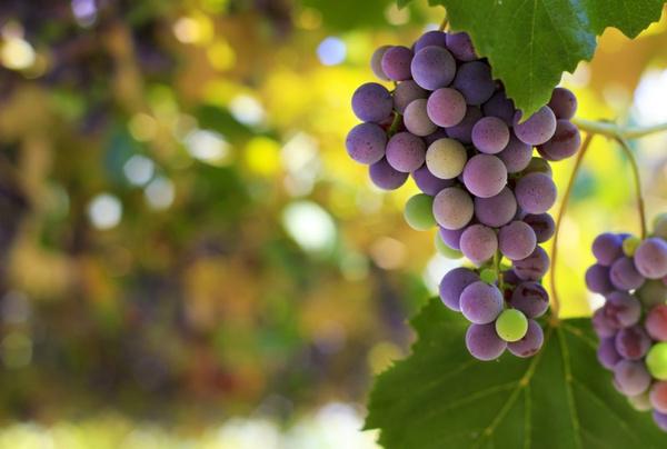 Свойства винограда изабелла