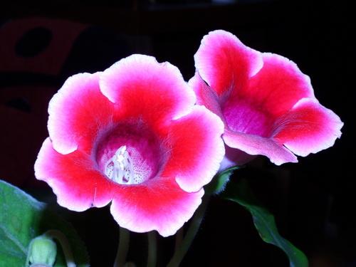 Если купить глоксинию с нераспустившимися бутонами – она будет радовать вас цветами более двух месяцев.