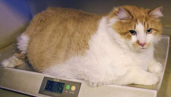 Кот с лишним весом