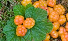 Морошка – северная ягода с ценными свойствами