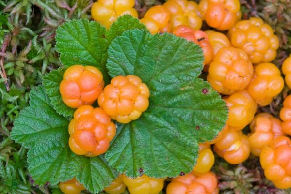 картинки ягода морошка