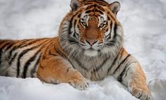 Как воронежские спасатели ловили тигра. Видео
