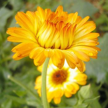 Цветы садовые однолетние
