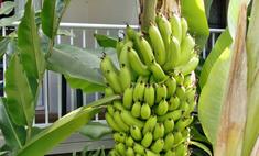 Банан из семян: сорта, особенности и посадка