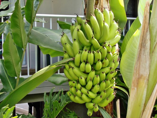 банан из семян