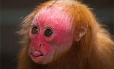 Все дикие обезьяны Бразилии