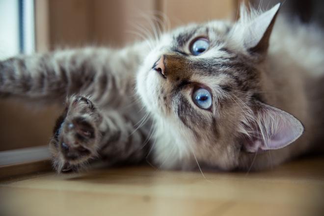 когда лучше стерилизовать кошку