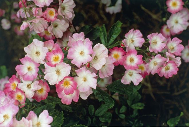 Роза полиантовая цветет с начала лета до середины осени