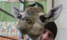 Сенсация! В «Роевом ручье» родился жираф [фото]
