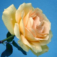 Роза (белая)Чистота и невинность