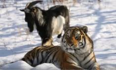 Любовь зла: тигр Амур + козел Тимур и другие странные отношения