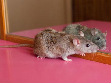 В США устроили крысиный фэшн-показ