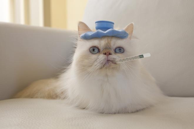 температура у котенка