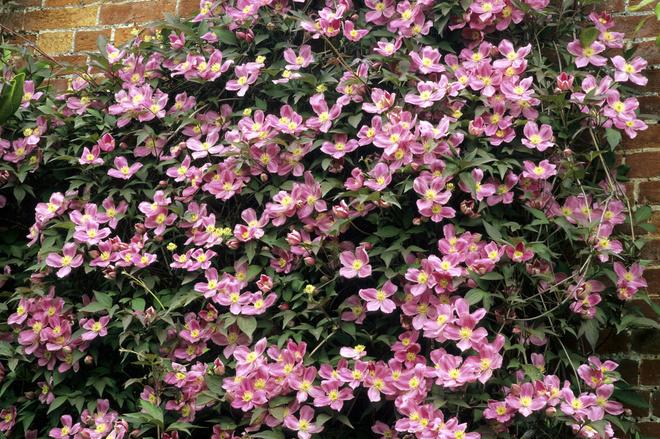 Клематис виль де лион имеет розовые цветки