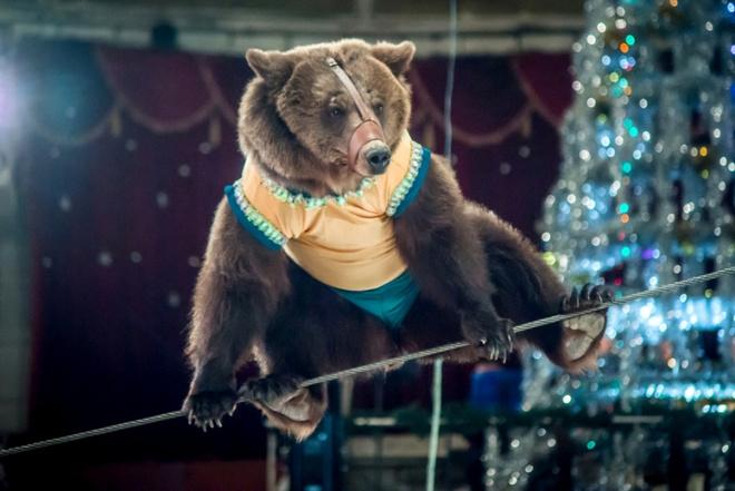 Медведи-канатаходцы