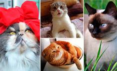 Фото смешных котов. Выбери самого очаровательного воронежского питомца