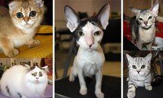 13 самых модных кошачьих пород в Казани
