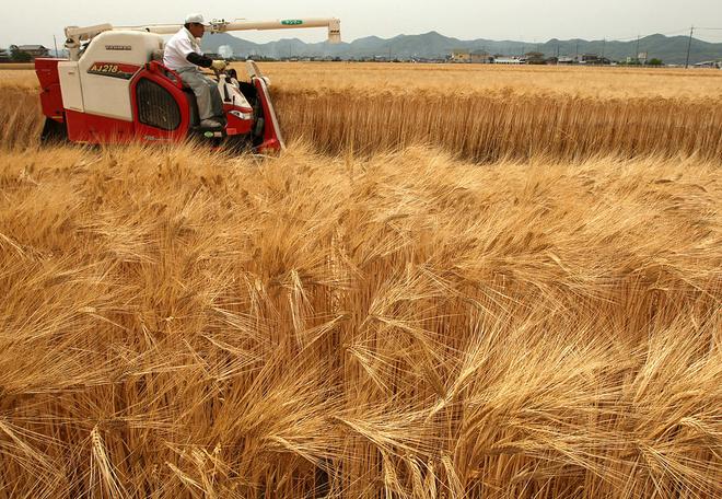 К чему снится пшеница, сонник