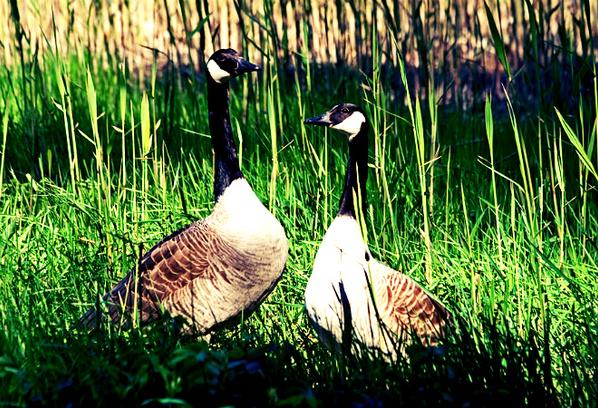 Канадские гуси