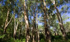 Масло чайного дерева и чистотела от папиллом