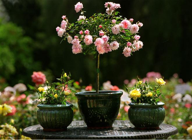 Уход за домашней розой в горшке